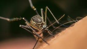 蚊子(伊蚊属aegypti)吮血液的宏指令 免版税图库摄影