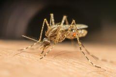 蚊子(伊蚊属aegypti)吮血液的宏指令 库存照片