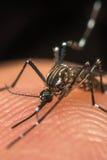 蚊子(伊蚊属aegypti)吮血液的宏指令 免版税库存图片