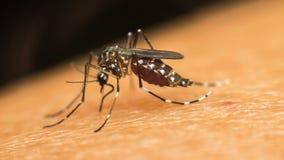 蚊子(伊蚊属aegypti)吮血液的宏指令 免版税库存照片