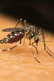 蚊子(伊蚊属aegypti)吮血液的宏指令 图库摄影