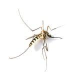 蚊子死在被隔绝的白色背景 库存照片