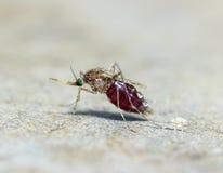 蚊子& x28宏指令; 伊蚊属aegypti& x29;吮血液接近  免版税库存图片