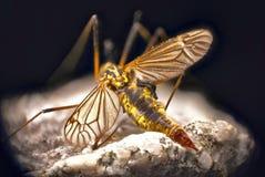 蚊子细节  免版税库存照片