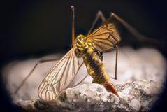 蚊子细节  库存照片