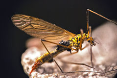 蚊子细节  图库摄影