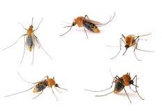 蚊子 库存照片
