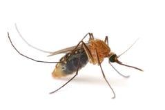 蚊子 免版税库存图片