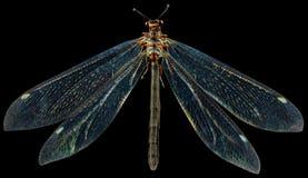 蚊蜻蛉属蚁 图库摄影