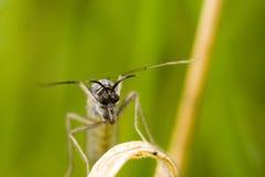 蚊 免版税库存图片