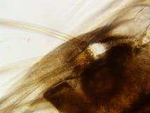 蚕蛾幼虫400x头发 免版税图库摄影