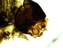 蚕蛾幼虫100x头 库存图片