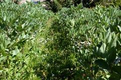 蚕豆的领域在绽放,野豌豆氟乙酰溴苯胺,自然,西西里岛,意大利的 图库摄影