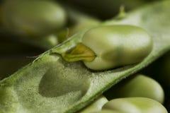 蚕豆 免版税库存图片