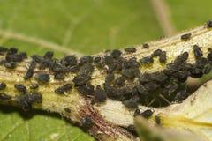 黑蚜虫特写镜头 免版税库存图片