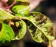 蚜虫的影响的樱桃叶子 植物的虫害 免版税库存照片