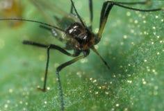 蚜虫黑色 免版税库存照片