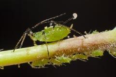 蚜虫 免版税库存图片