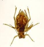 蚜虫 免版税图库摄影