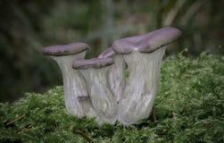 蚝蘑在杉木森林里 免版税图库摄影