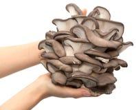 蚝蘑在白色背景的一只手上 库存图片