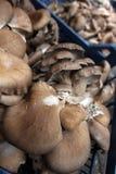 蚝蘑 侧耳属ostreatus 蚝蘑是一个共同的可食的蘑菇 采蘑菇耕种 图库摄影