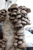蚝蘑 侧耳属ostreatus 蚝蘑是一个共同的可食的蘑菇 采蘑菇耕种 免版税图库摄影