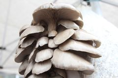 蚝蘑 侧耳属ostreatus 蚝蘑是一个共同的可食的蘑菇 采蘑菇耕种 库存图片