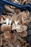 蚝蘑 侧耳属ostreatus 蚝蘑是一个共同的可食的蘑菇 采蘑菇耕种 免版税库存图片