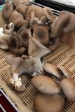 蚝蘑 侧耳属ostreatus 蚝蘑是一个共同的可食的蘑菇 采蘑菇耕种 免版税库存照片