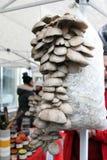 蚝蘑 侧耳属ostreatus 蚝蘑是一个共同的可食的蘑菇 采蘑菇耕种 库存照片