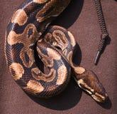 蛇作为项链 免版税库存图片