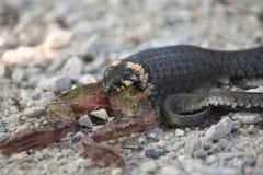 蛇吃一只青蛙 库存照片
