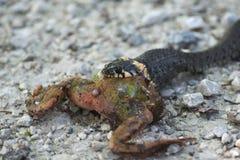 蛇吃一只青蛙 免版税库存照片