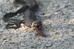 蛇吃一只青蛙 图库摄影
