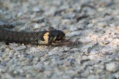 蛇吃一只青蛙 免版税库存图片
