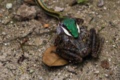 蛇和青蛙作战 免版税库存照片