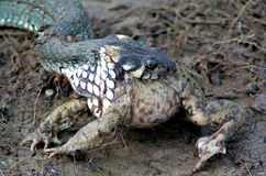 蛇和青蛙 免版税库存图片