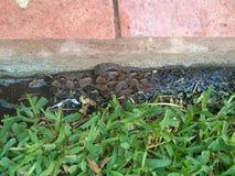 蛇在庭院里 免版税库存照片