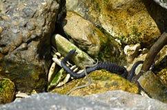 水蛇在黑海(Natrix) 库存图片