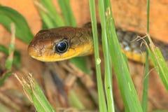 蛇在Gran Sabana,委内瑞拉 图库摄影