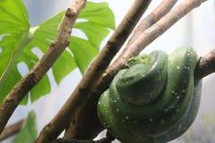 蛇垂悬 库存照片