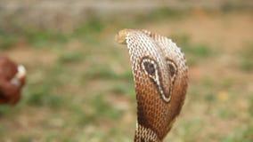 蛇射击的眼镜蛇关闭 股票视频