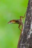 蛇怪蜥蜴 库存照片