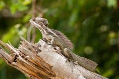 蛇怪蜥蜴 免版税库存照片
