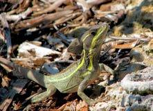 蛇怪褐色 免版税库存图片
