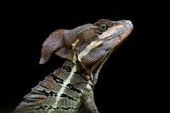蛇怪,蛇怪蛇怪,细节特写镜头画象在自然栖所 罕见的蜥蜴美好的头从哥斯达黎加的 库存照片