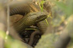 蛇接近  库存照片