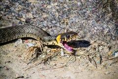 蛇攻击 免版税库存照片