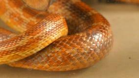 蛇显示它的分叉的舌头 股票录像